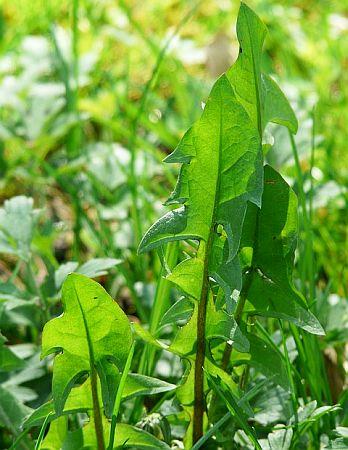 frunze-de-papadie